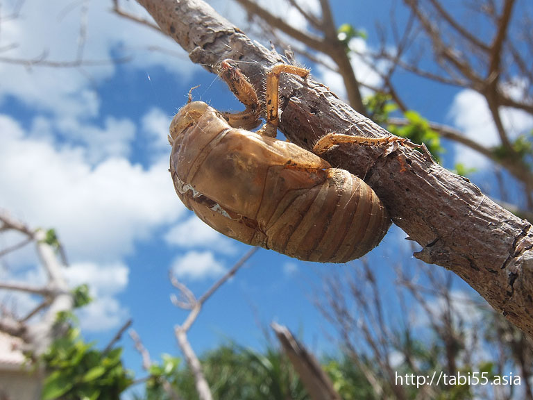 蝉の抜け殻 与論島の風景(鹿児島県与論島)