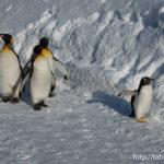 ペンギンの散歩!旭山動物公園(旭川市)
