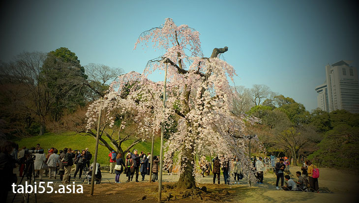 枝垂れ桜を堪能!春の小石川後楽園