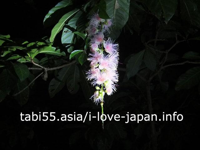 【6末-7月限定】夕飯後に、一夜花サガリバナを見に行った