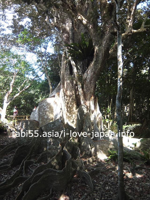 西表島の天然記念物!サキシマスオウノキを見学
