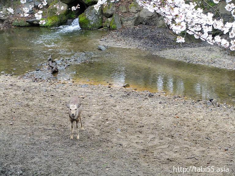 奈良の鹿(奈良県奈良市)