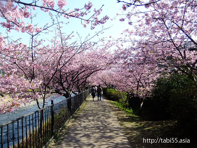 河津桜(静岡県河津町)