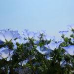 国営ひたち海浜公園のネモフィラ(茨城県)/Nemophila of Hitachi Seaside Park (Ibaraki)