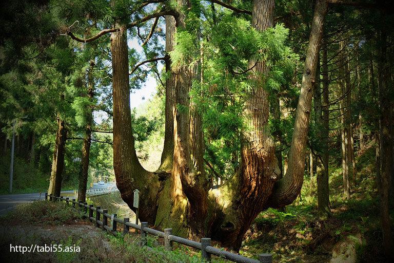 かぶら杉(島根県隠岐の島町)/Cabura cedar (Shimane)