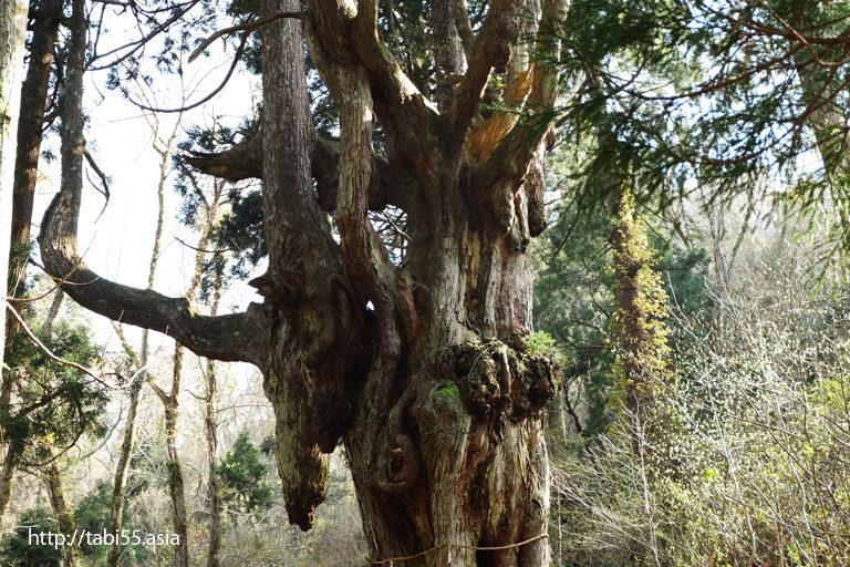 岩倉の乳房杉(ちちすぎ)(島根県隠岐の島町)/Breast cedar of Iwakura(Chichi-sugi) (Shimane)