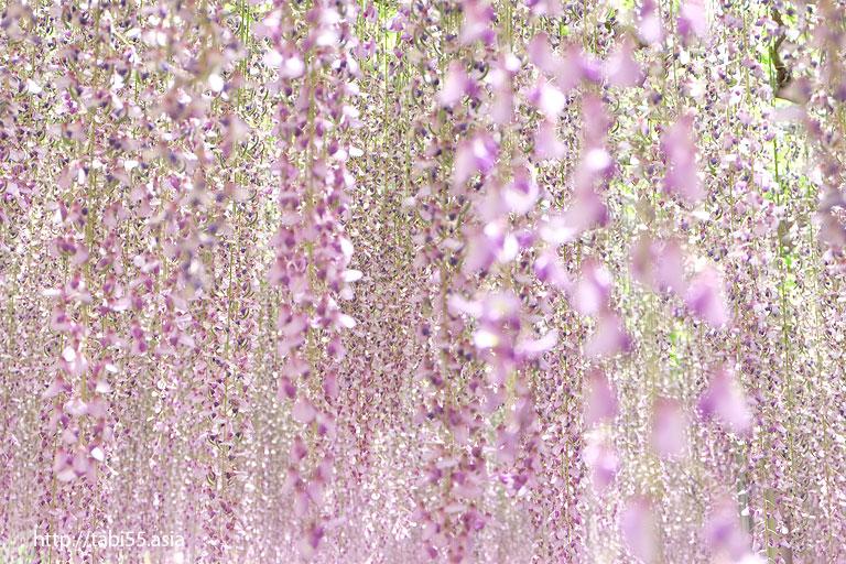 大長藤 白藤の棚@あしかがフラワーパーク(栃木県)/Ashikaga Flower Park (Tochigi Prefecture)