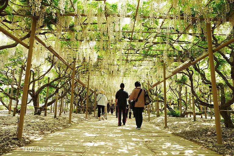 白藤の棚@あしかがフラワーパーク(栃木県)/Ashikaga Flower Park (Tochigi Prefecture)