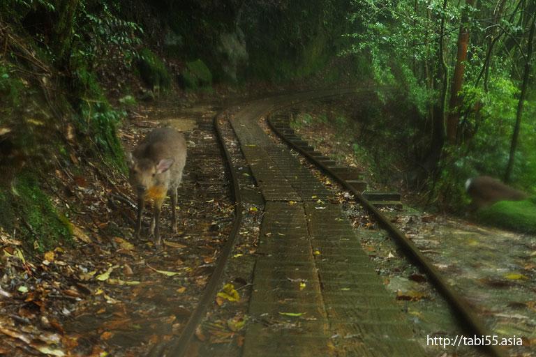 屋久シカ@縄文杉トレッキング(屋久島)/Jomon cedar trekking (Yakushima)