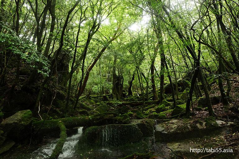 森@縄文杉トレッキング(屋久島)/Jomon cedar trekking (Yakushima)