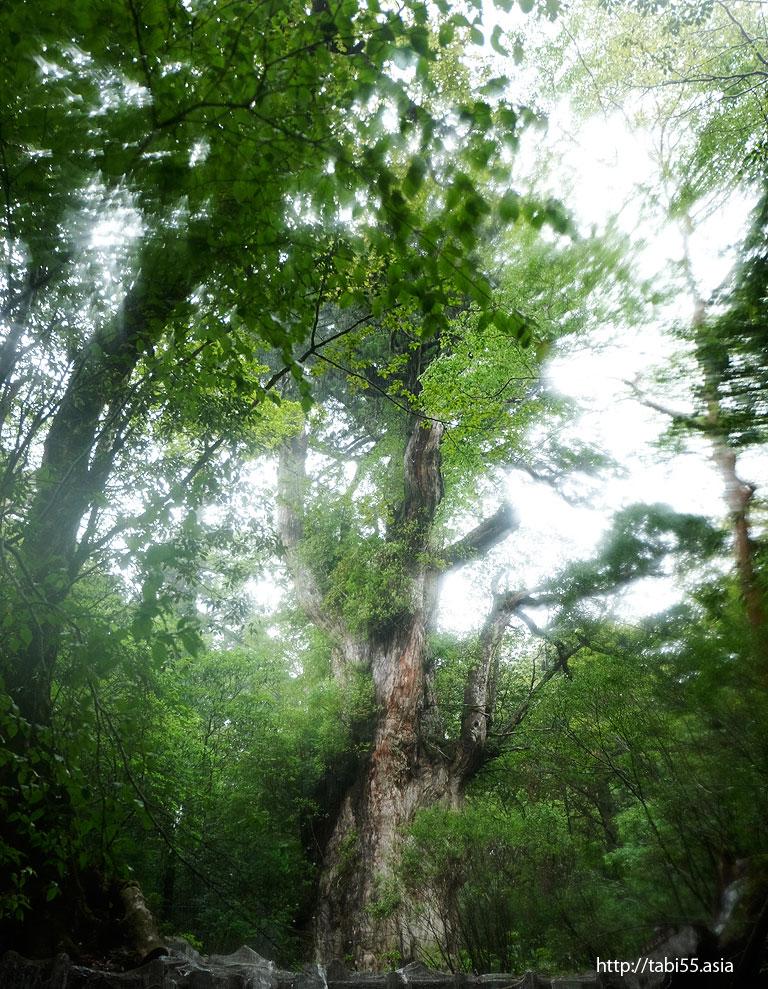 縄文杉@縄文杉トレッキング(屋久島)/Jomon cedar trekking (Yakushima)