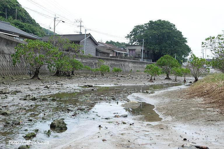 種子島のマングローブ