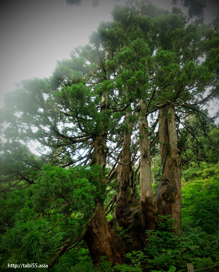 大佐渡石名天然杉遊歩道(新潟県佐渡島)/Osado Ishina natural cedar boardwalk (Sado Island, Niigata Prefecture)