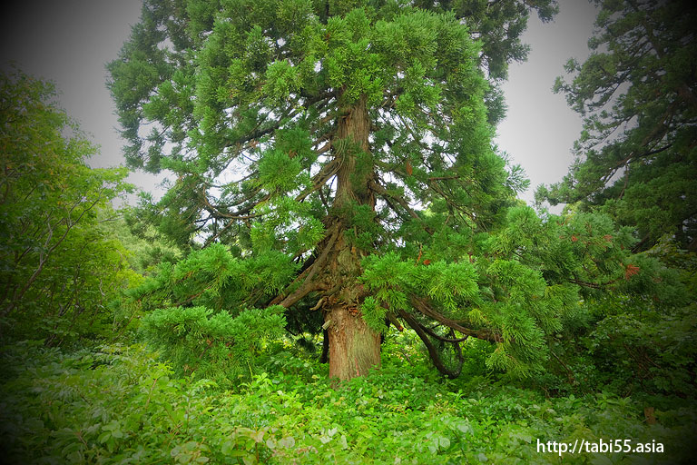 大黒杉@大佐渡石名天然杉遊歩道(新潟県佐渡島)/Osado Ishina natural cedar boardwalk (Sado Island, Niigata Prefecture)