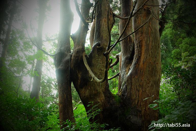 家族杉@大佐渡石名天然杉遊歩道(新潟県佐渡島)/Osado Ishina natural cedar boardwalk (Sado Island, Niigata Prefecture)