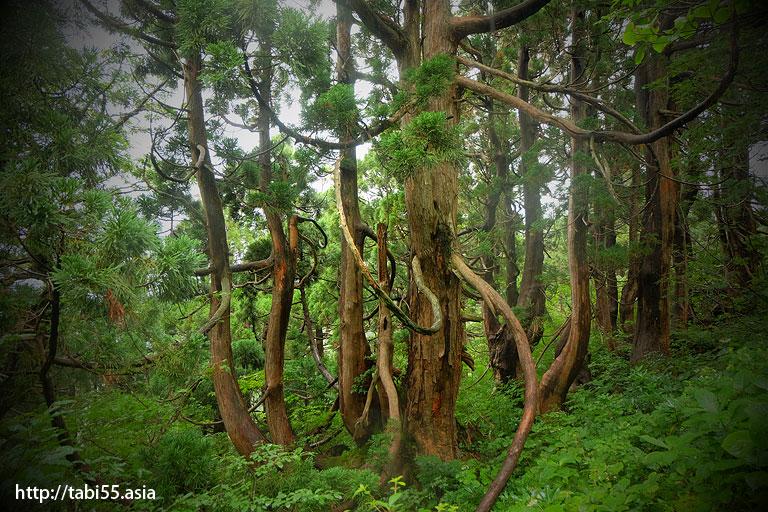 象牙杉@大佐渡石名天然杉遊歩道(新潟県佐渡島)/Osado Ishina natural cedar boardwalk (Sado Island, Niigata Prefecture)