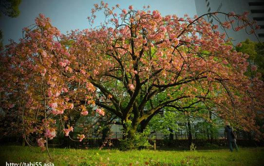旧芝離宮恩賜庭園で里桜!遅めの花見におすすめ(東京都港区)