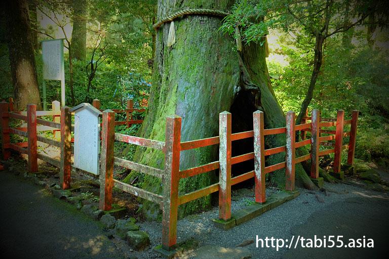 安産杉@箱根神社
