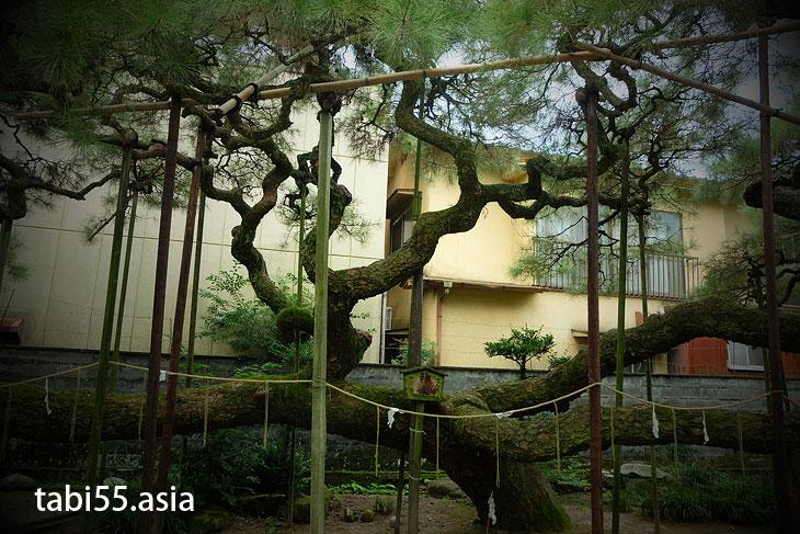 隈八坂神社の叢雲(むらくも)の松