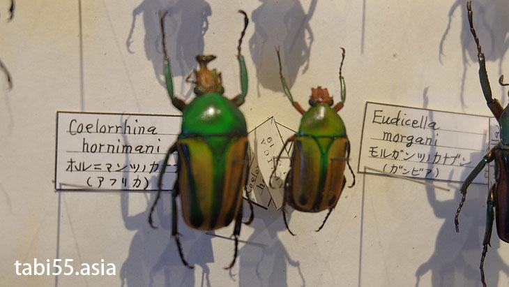 ひがし大雪自然館で、昆虫の標本に釘付け