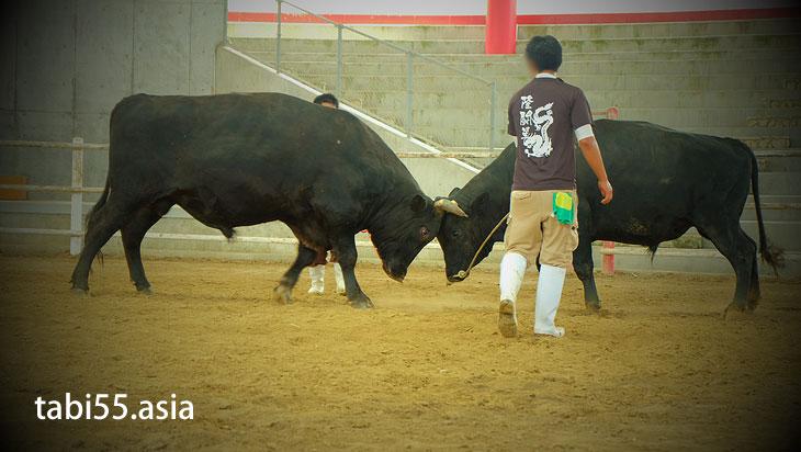 闘牛の練習試合を見れてラッキー@徳之島なくさみ館