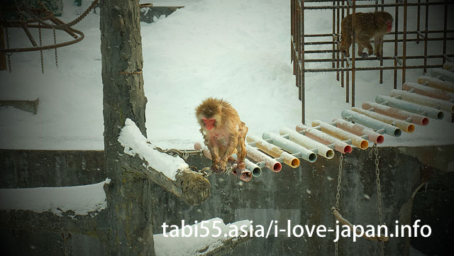 Visit a monkey's hot spring bathing at the Hakodate tropical botanical garden