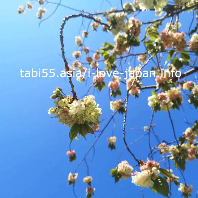 希有な緑の桜「御衣黄(ぎょいこう)」が咲く!自性院