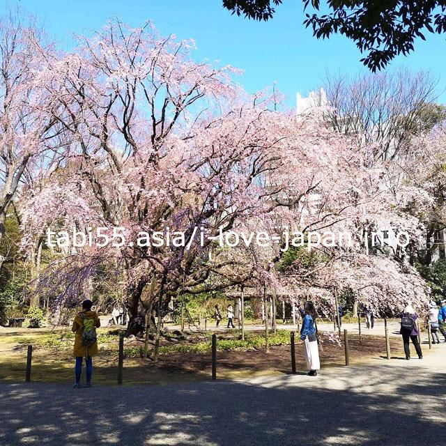 枝垂れ桜のライトアップが人気!日本庭園:六義園