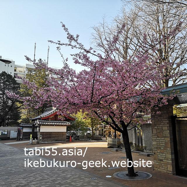 たまにカフェしています!祥雲寺の河津桜